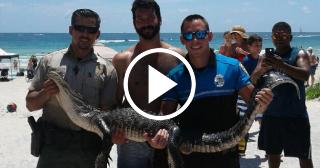 Capturan a un caimán de seis pies en aguas de South Beach, en Miami