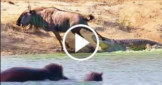 Dos hipopótamos salvan a un ñu de ser devorado por un cocodrilo