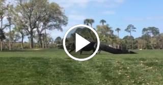 Cocodrilo gigante irrumpe en un campo de golf en EE.UU