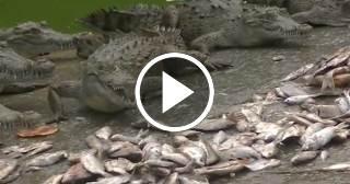 Criadero de cocodrilos en Minas, Camagüey