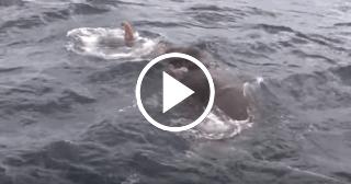El increíble rescate de un elefante perdido en alta mar