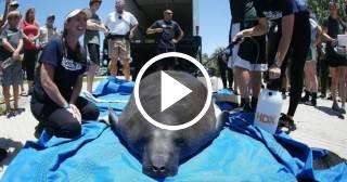 """El Miami Seaquarium libera a un manatí al que trató por """"marea roja"""""""