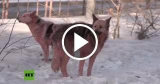 Aparecen perros de color rosado en Rusia