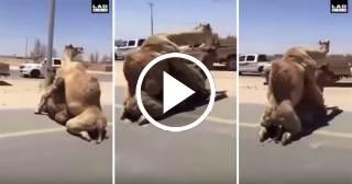 Lo más viral: Dos camellos apareándose detienen el tráfico en una carretera de Dubai
