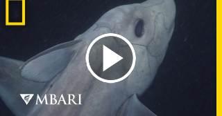 Graban por primera vez al Tiburón Fantasma, una especie más antigua que los dinosaurios