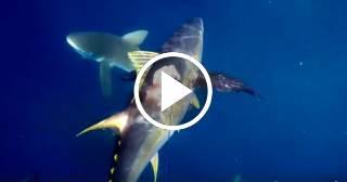 Ataque de tiburón a un pescador submarino