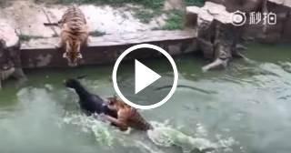 Lamentable: Dan de comer un burro vivo a los tigres de un zoológico de China