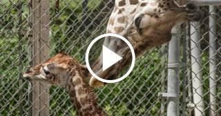 Nace una jirafa en el Zoológico de Miami