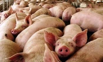 Aumenta en Cuba la producción porcina pero no satisface la demanda ni bajan los precios