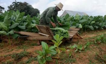 Tabacaleros de Cuba a punto de culminar cosecha de 18 mil hectáreas