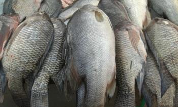 Cuba impulsa la cría en el mar deun pescado de agua dulce: la tilapia